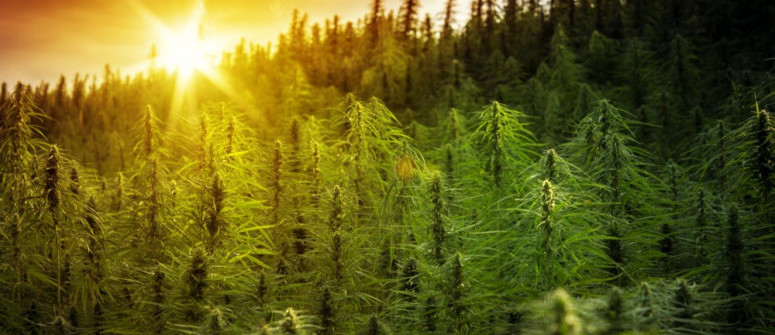 Rechtlicher Status und Regulierung von Cannabis weltweit: Wie wird es gehandhabt?