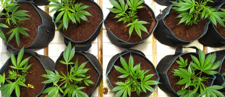 Air-Pots vs. normale Pflanztöpfe: Welche sind besser für Cannabis?