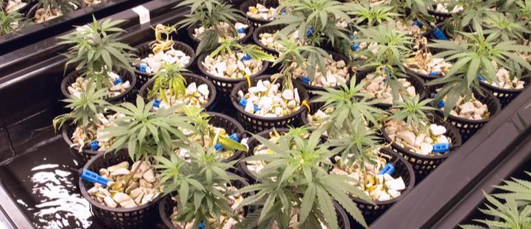 Wie man hydroponisches Cannabis anbaut: eine Anleitung für Einsteiger