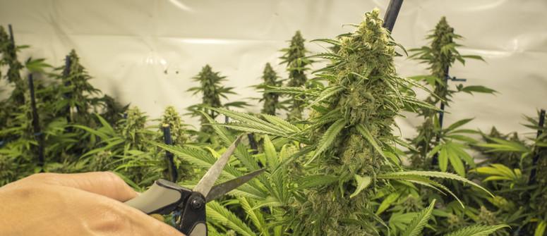 Wie man Cannabis beschneidet: ein Leitfaden für Anfänger